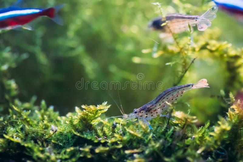 Natação de Amano Shrimp Or Japanese Shrimp na água imagens de stock royalty free
