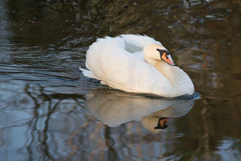Natação de cabeça negra da cisne na lagoa imagem de stock royalty free