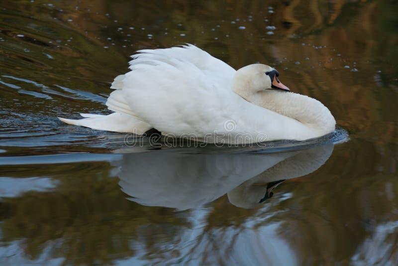 Natação de cabeça negra da cisne na lagoa imagem de stock