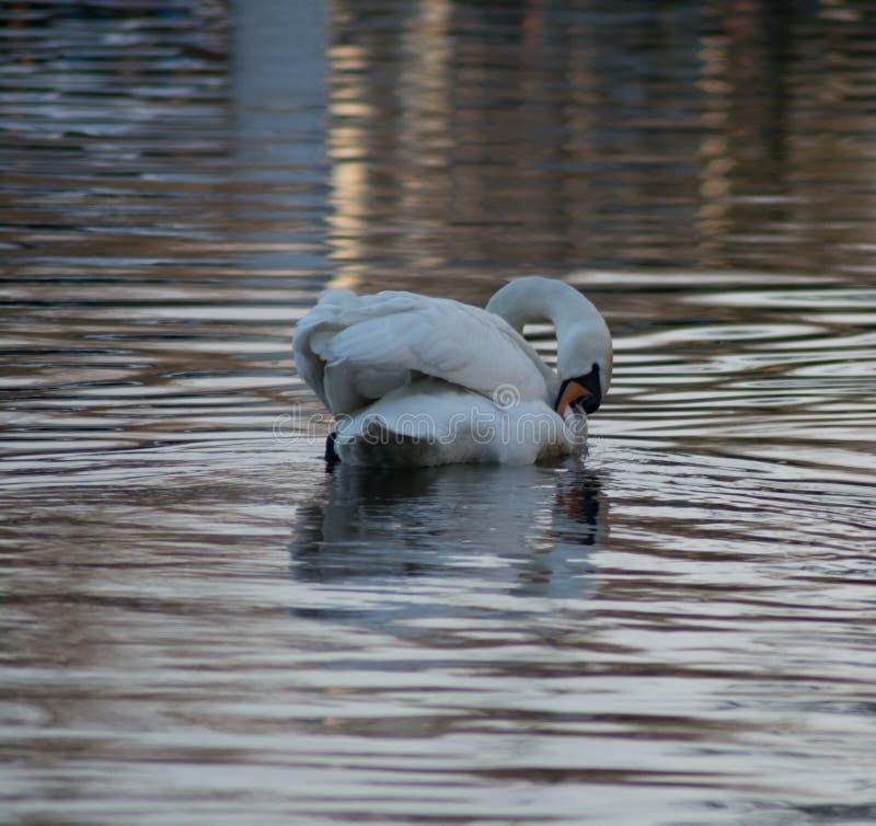 Natação de cabeça negra em uma calma, lagoa encantador da cisne dentro fotos de stock