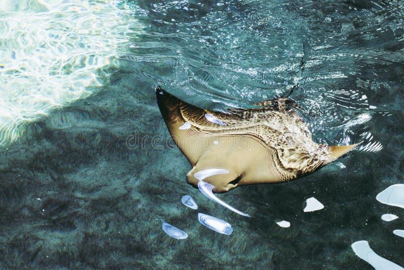Natação de Ray de Manta na água clara azul fotografia de stock