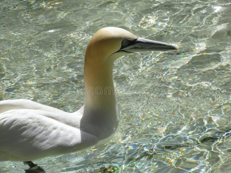 Natação do albatroz imagens de stock