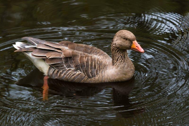 Natação do anser do Anser do ganso de pato bravo europeu na lagoa fotos de stock
