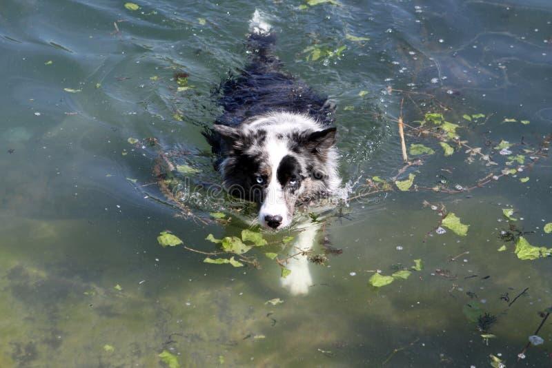 Natação do cão fotografia de stock royalty free
