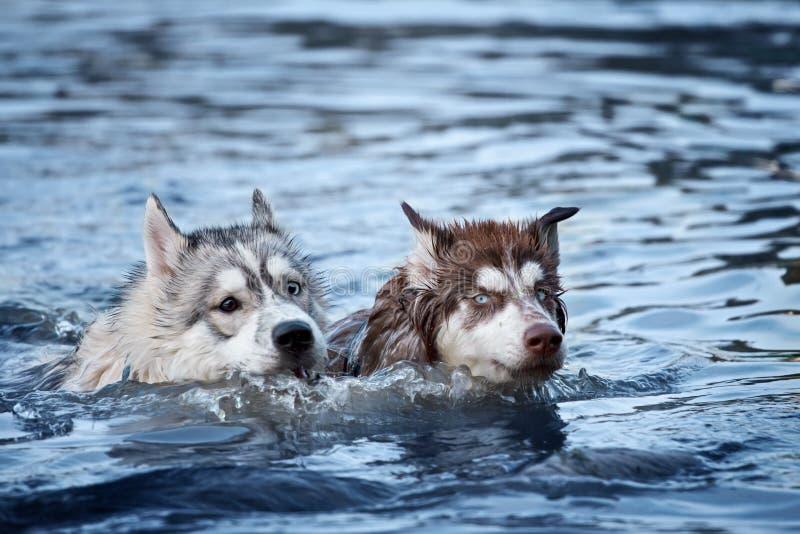 Natação do cão de dois cães de puxar trenós fotos de stock