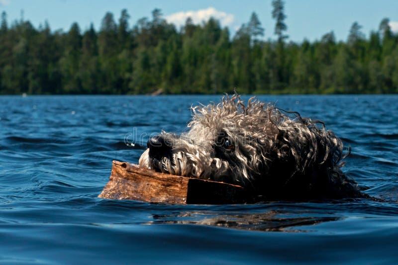 Natação do cão de Pumi na água imagem de stock royalty free
