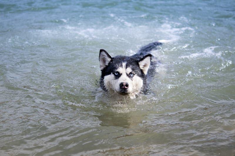 Natação do cão de puxar trenós Siberian imagens de stock royalty free