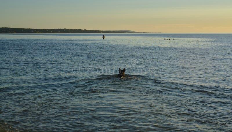 Natação do cão no mar durante o por do sol foto de stock