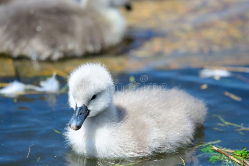 Natação do cisne novo na água imagens de stock royalty free