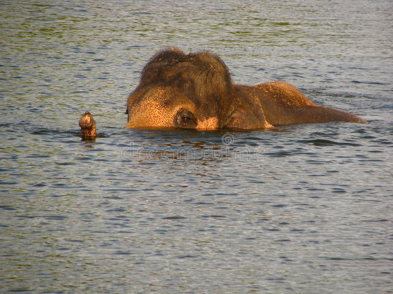 Natação do elefante no rio fotos de stock royalty free