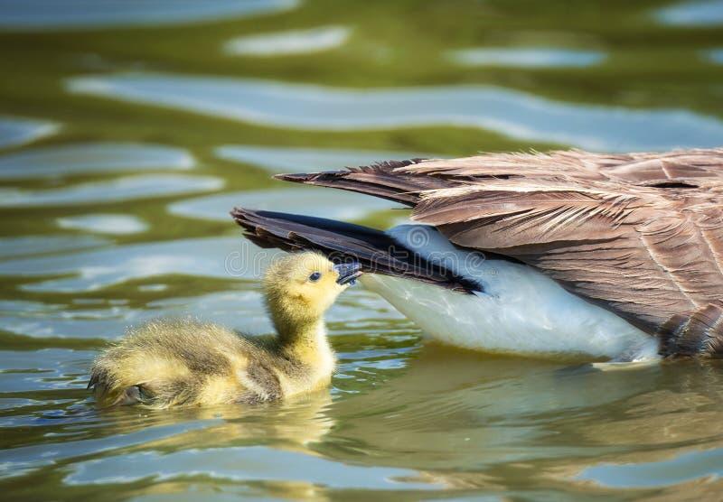 Natação do ganso do ganso de Canadá atrás da mãe imagem de stock royalty free