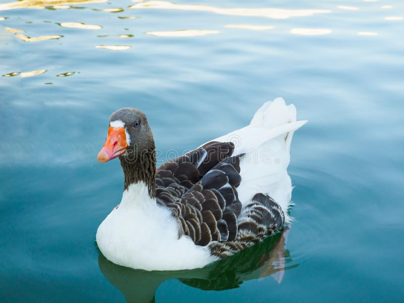 A natação do ganso na lagoa de turquesa fotografia de stock