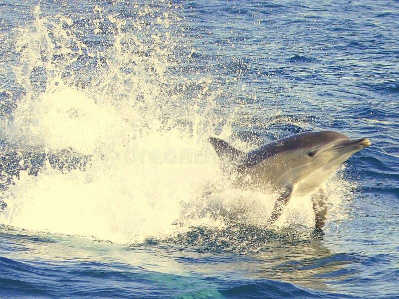 Natação do golfinho na água azul imagem de stock