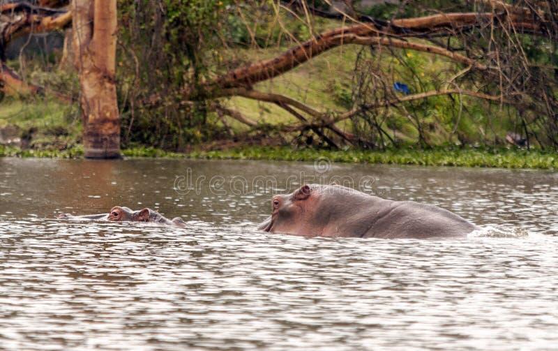 Natação do hipopótamo foto de stock
