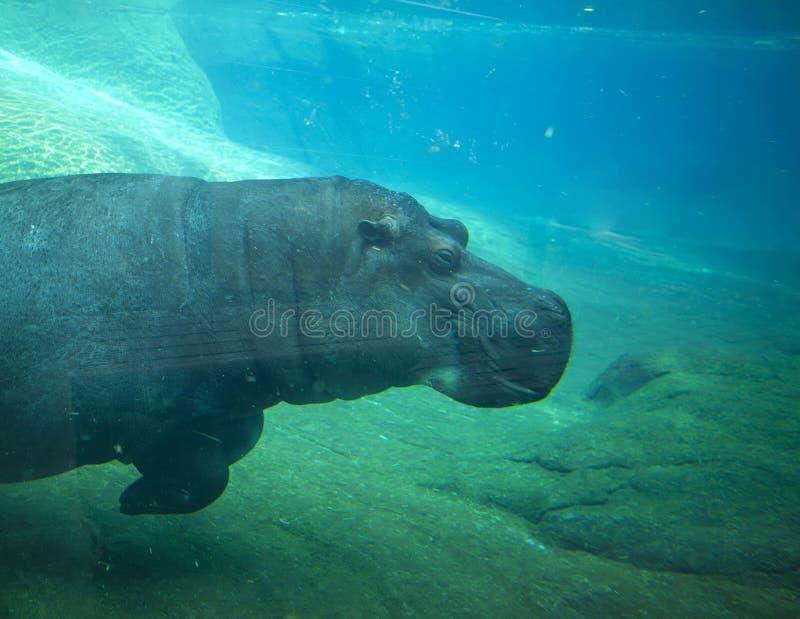 Natação do hipopótamo no jardim zoológico de San Diego. fotografia de stock royalty free