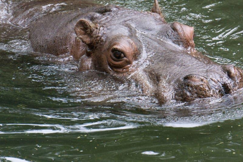 Natação do hipopótamo no rio imagens de stock