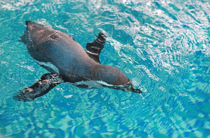 Natação do humboldti do Spheniscus do pinguim de Humboldt fotografia de stock