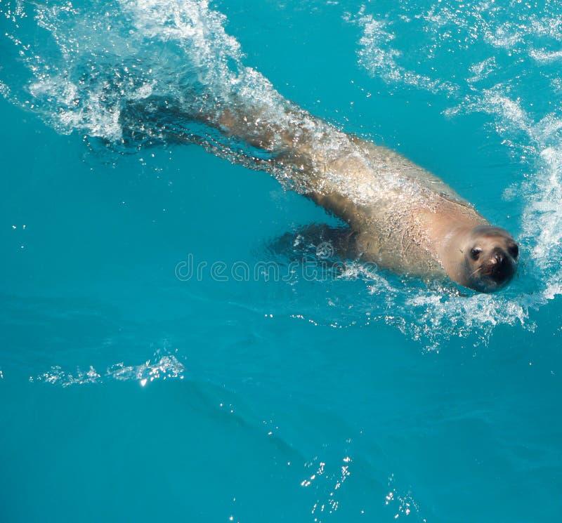 Natação do leão de mar imagem de stock