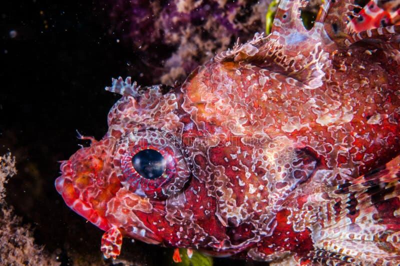 Natação do Lionfish em Gili, Lombok, Nusa Tenggara Barat, foto subaquática de Indonésia fotografia de stock