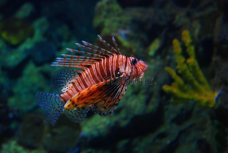 Natação do Lionfish na água fotografia de stock royalty free