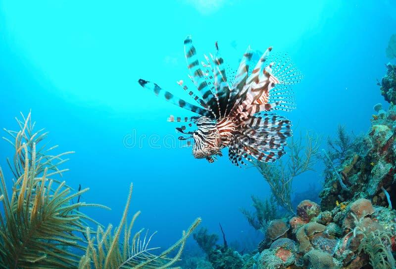 Natação do Lionfish no mar imagens de stock