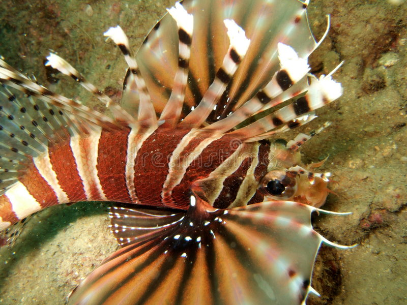 Natação do Lionfish no mar fotografia de stock royalty free
