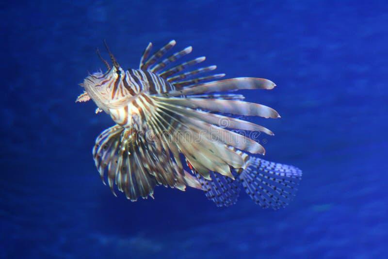 Natação do Lionfish no mar azul fotografia de stock royalty free