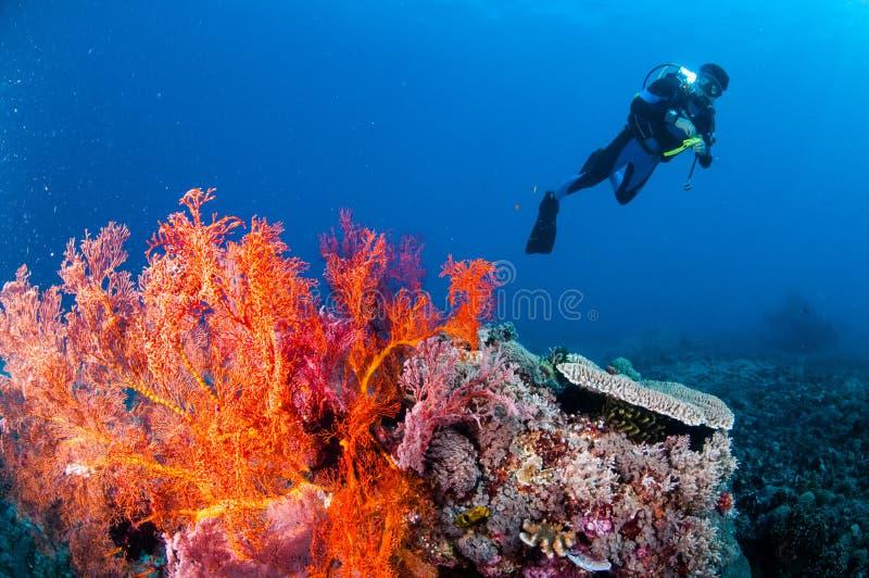 Natação do mergulhador, fã de mar Anella Mollis em Gili, Lombok, Nusa Tenggara Barat, foto subaquática de Indonésia foto de stock royalty free