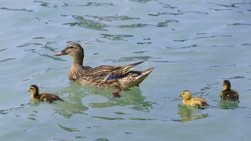 Natação do pato com patinhos imagem de stock royalty free