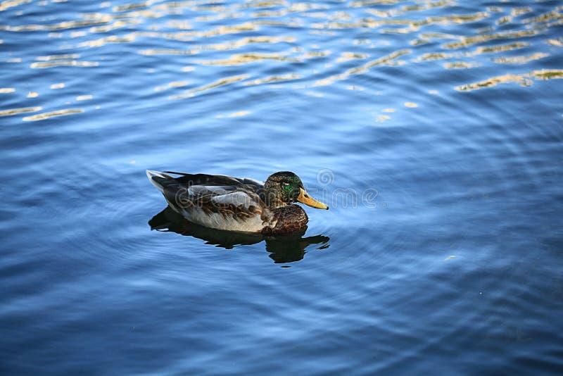 Natação do pato na água azul imagem de stock royalty free
