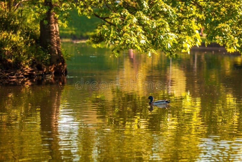 Natação do pato na lagoa no parque bonito fotos de stock royalty free