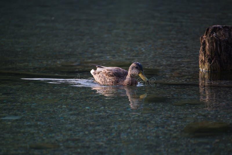 Natação do pato no lago fotos de stock royalty free