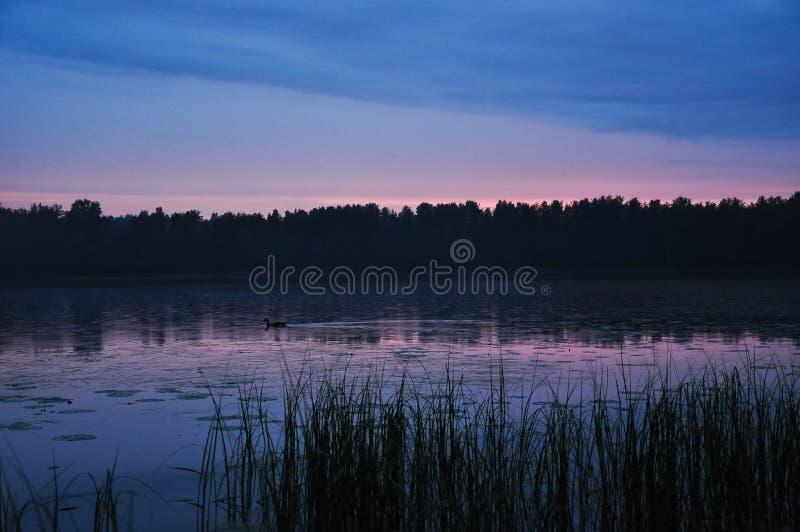 Natação do pato no lago no crepúsculo no por do sol Juncos na paisagem rural do ver?o da costa fotografia de stock