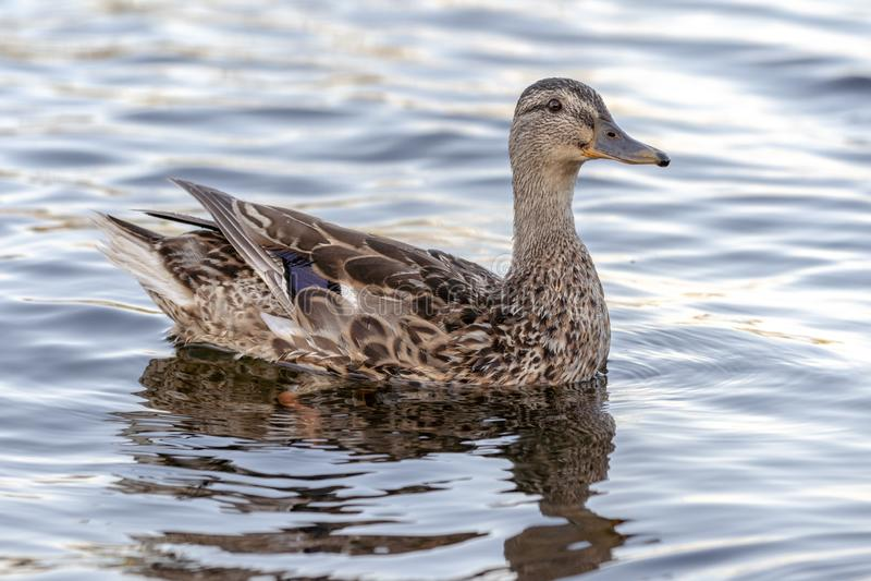 Natação do pato selvagem em um rio da montanha imagens de stock