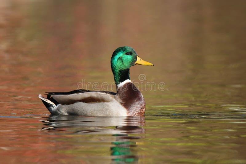 Natação do pato do pato selvagem na água alaranjada na queda no crepúsculo imagem de stock royalty free