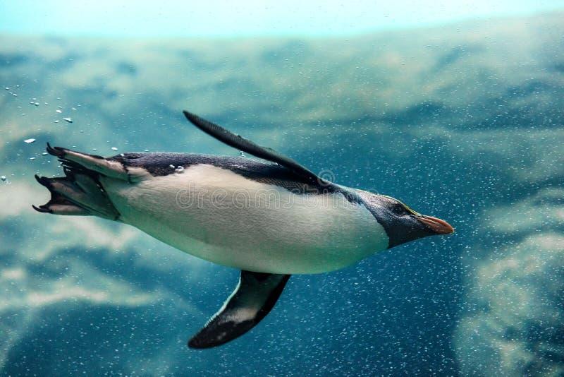 Natação do pinguim de Fiordland subaquática no jardim zoológico fotografia de stock