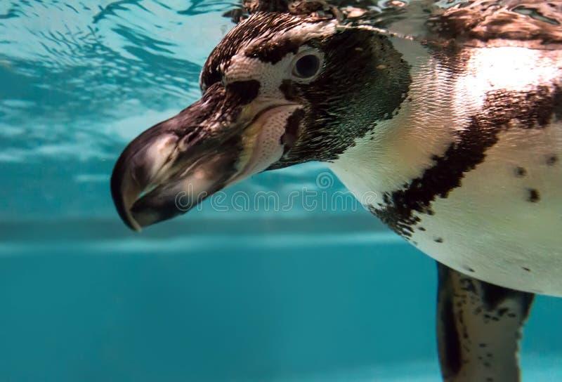 Natação do pinguim no jardim zoológico imagem de stock royalty free