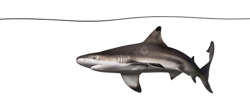 Natação do tubarão do recife de Blacktip sob a linha de água imagem de stock royalty free
