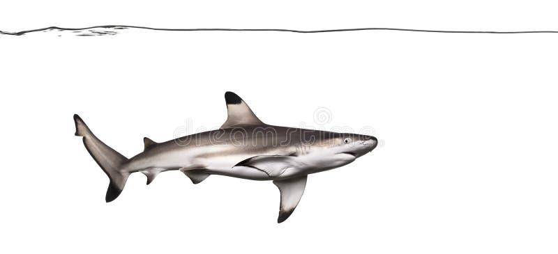 Natação do tubarão do recife de Blacktip sob a linha de água imagens de stock royalty free