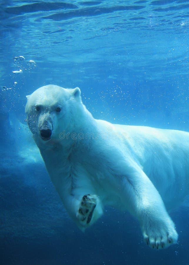 Natação do urso polar subaquática imagens de stock royalty free