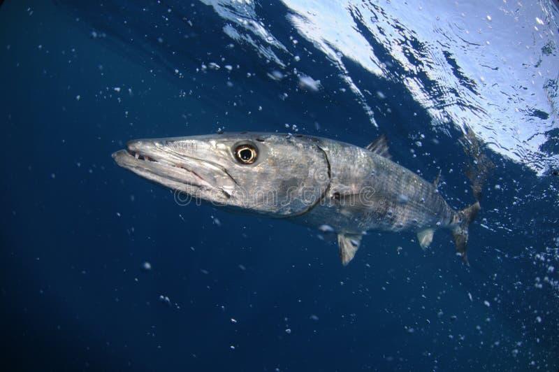 Natação dos peixes do Barracuda na água azul do oceano fotografia de stock royalty free