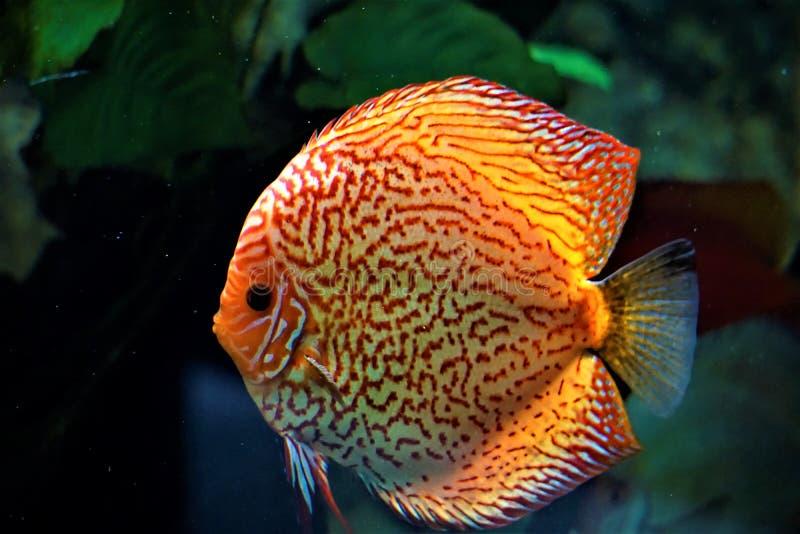 Natação dos peixes do disco em um aquário foto de stock
