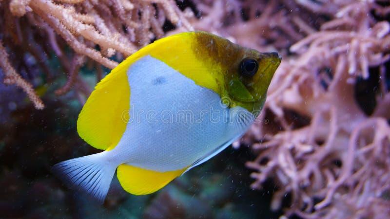 Natação dos peixes do recife de corais na frente dos corais das anêmonas foto de stock royalty free