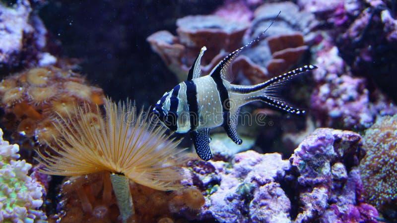 Natação dos peixes do recife de corais na frente dos corais das anêmonas imagem de stock royalty free
