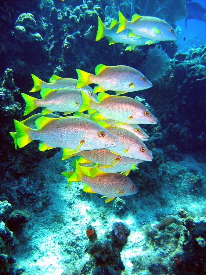 Natação dos peixes do Schoolmaster fotografia de stock