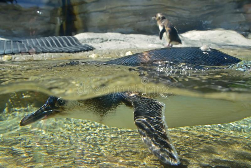 Natação e mergulho pequenos do pinguim com corpo acima e abaixo da água