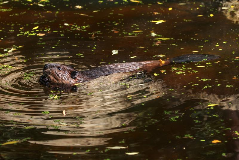 Natação euro-asiática na lagoa, verde pequeno da fibra do rodízio do castor imagem de stock royalty free