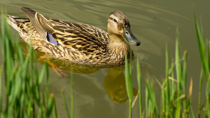 Natação fêmea do pato na lagoa para o banco gramíneo fotos de stock royalty free