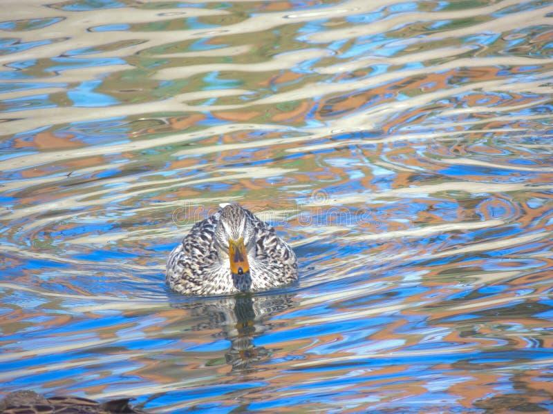 Natação fêmea do pato selvagem no lago, platyrhynchos dos Anas fotos de stock royalty free