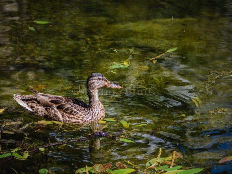 Natação fêmea selvagem bonita do pato em uma lagoa verde imagem de stock royalty free
